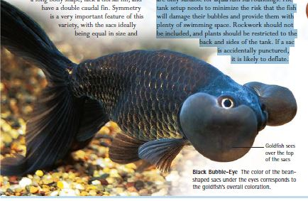 type of goldfish black eye goldfish