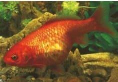bloat or dropsy koi fish diseases