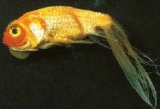 fin rot koi fish diseases