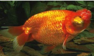 types of goldfish celestial eye golfish side view