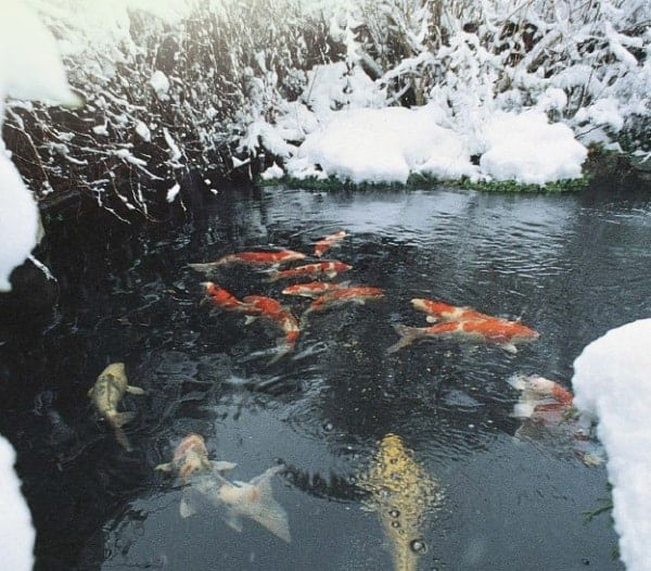 How to keep koi fish alive in winter (Winterizing Your Koi Pond)