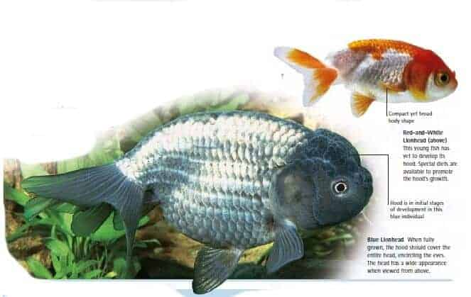 types of goldfish lionhead goldfish