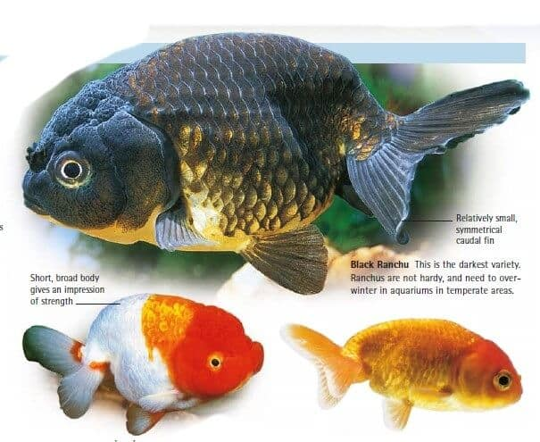 types of goldfish 15 different goldfish breeds you need to know