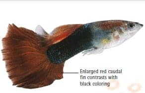 red tail half black guppy