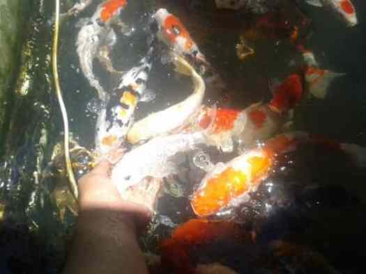 what do koi fish eat hand feeding pellets