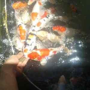 koi fish for sale philippines