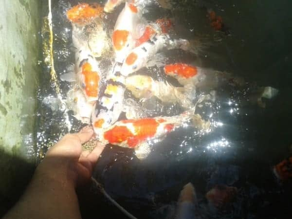 what do koi fish eat hand feeding pellets