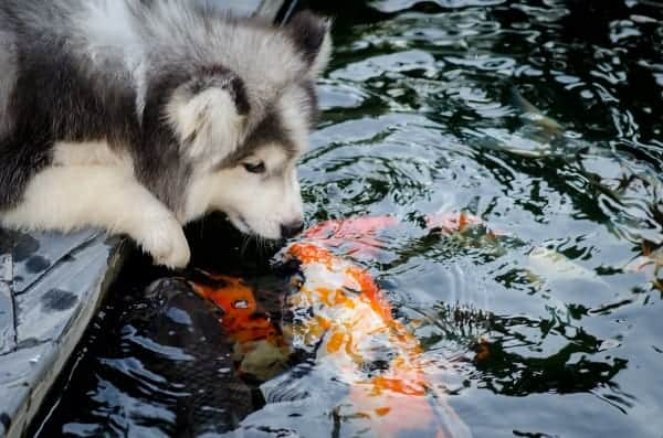 Husky kissing koi fish