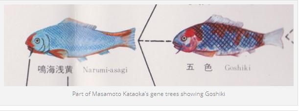 goshiki koi genealogy 1