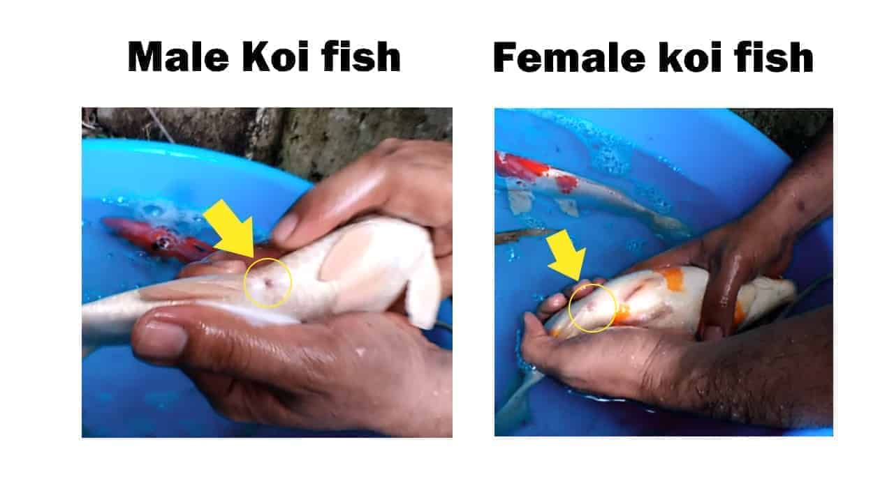 how to tell if a fish is male or female