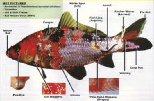fish diseases pictures