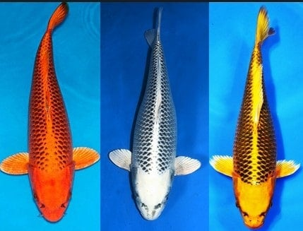 types of koi matsuba koi