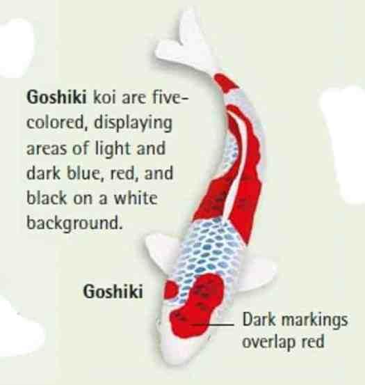 goshiki koi fish