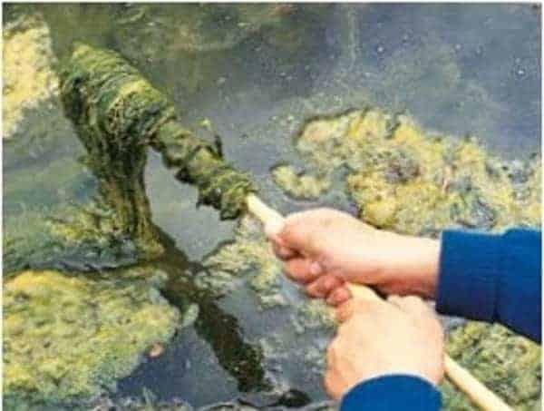 blanketweed algae pond maintenance
