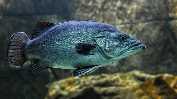 wild caught fish grouper