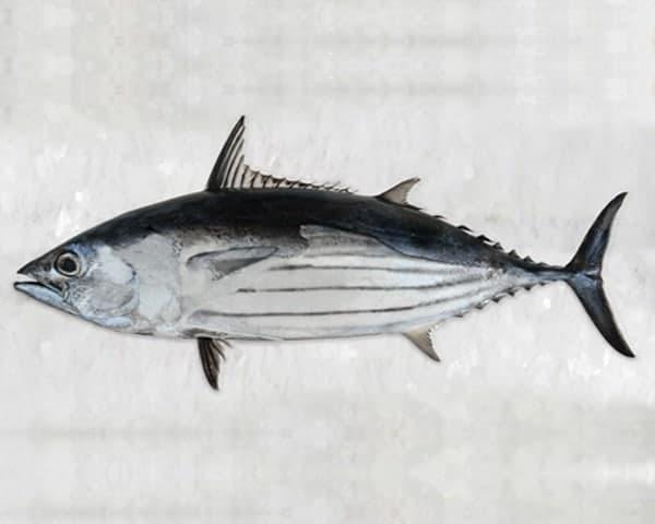 wild caught fish tuna