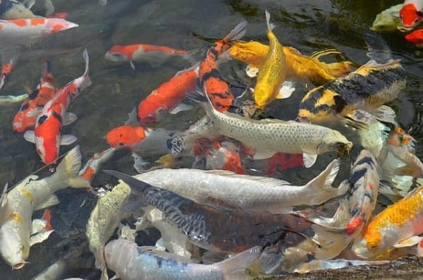 how to care for koi fish