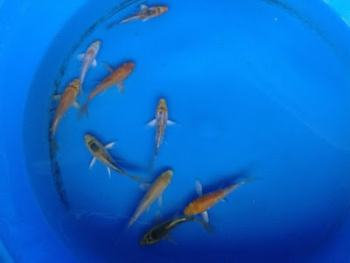 live butterfly koi fish for sale