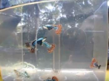 dumbo mosaic guppy for sale