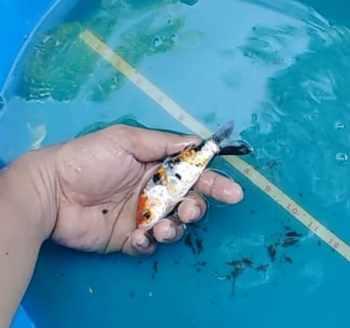 kin doitsu showa koi fish for sale
