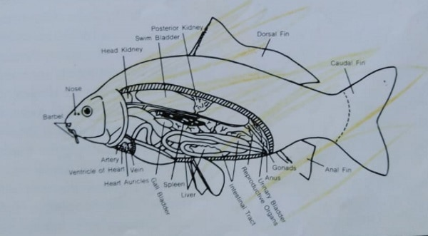 koi fish anatomy Name of the parts of a koi