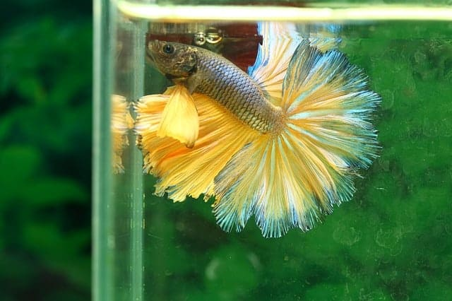rosetail betta betta fish care