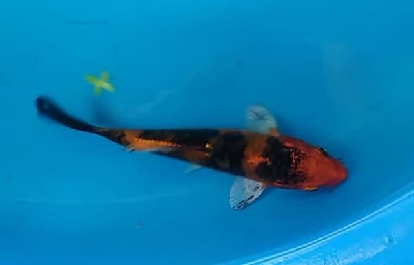 5 inch Kin doitsu hi utsuri koi fish for sale