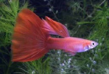 moscow red guppy