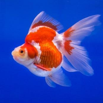 Amazing Ryukin Goldfish Fancy Goldfish Care Information
