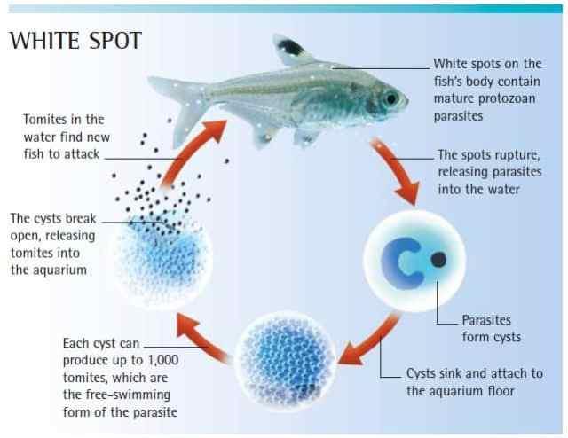 white spot life cycle