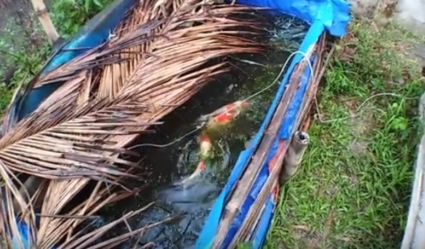 koi breeding for profit