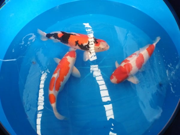how to tell gender of koi