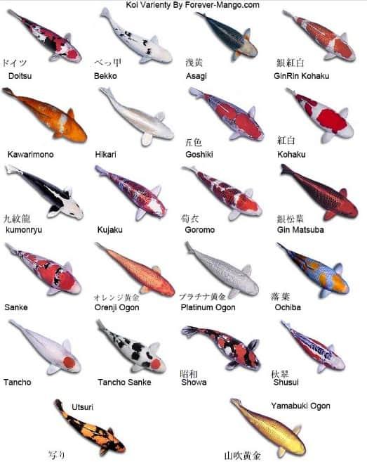 japanese koi fish types