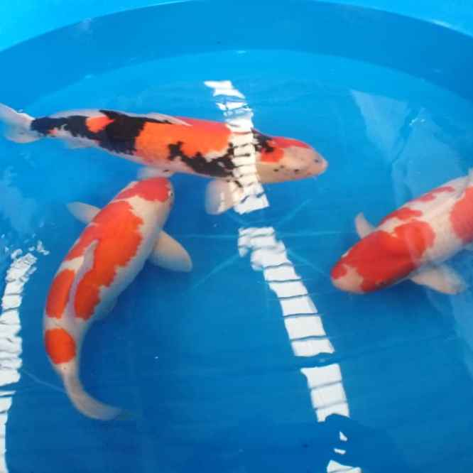 koi fish keeping info