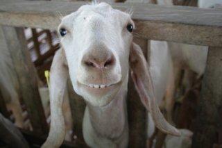 smiling-goat13