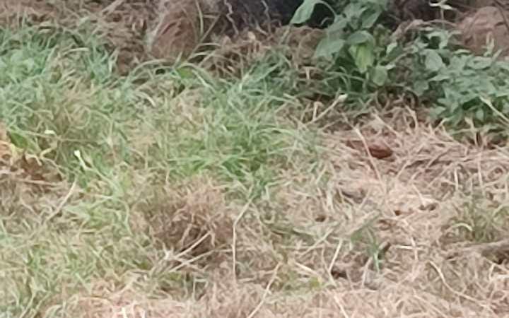 Genzano, grosso cinghiale avvistato all'anfiteatro dell'olmata
