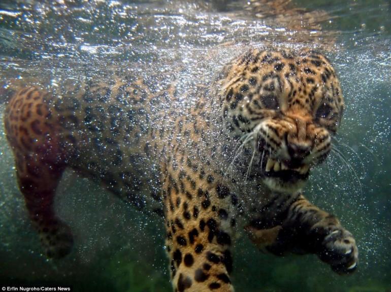 https://i0.wp.com/www.giornalettismo.com/wp-content/uploads/2012/04/giaguaro-acqua-01-770x576.jpg