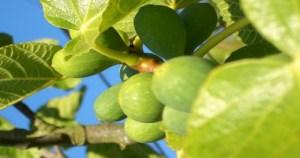 Φύλλα συκιάς: Οι θεραπευτικές ιδιότητες που δεν γνωρίζαμε μέχρι σήμερα!