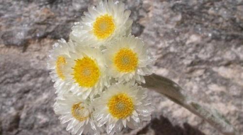 το χρυσαφί λουλούδι