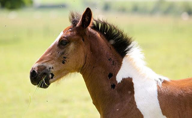 Αυτό το αξιολάτρευτο άλογο γεννήθηκε με σχήμα αλόγου στην πλάτη του και είναι ό,τι πιο όμορφο έχετε δει.