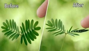 Μιμόζα η ντροπαλή -Το περίεργο φυτό που δεν θέλει να το αγγίζουν