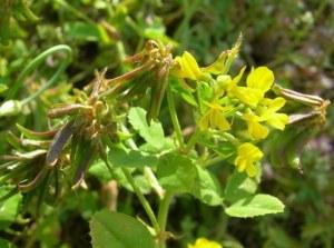Read more about the article Αυτό είναι το φυτό που μειώνει σάκχαρο και βάρος