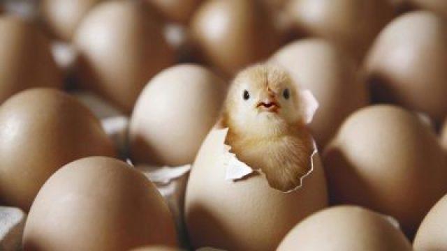 Η κότα έκανε το αυγό ή το αυγό την κότα; Πώς τεκμηριώνει ένας επιστήμονας την απάντηση και λύνει οριστικά τον γρίφο!