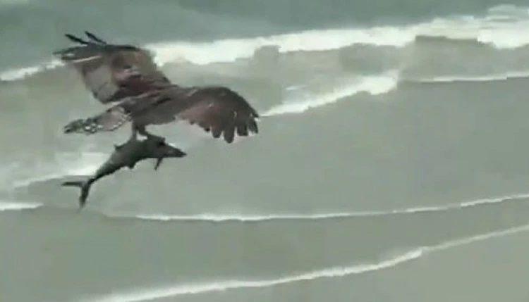 Αετός Αρπάζει Καρχαρία Μέσα Από Την Θάλασσα Και Τον Σηκώνει Στον Αέρα