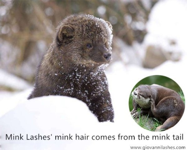 Mink Lashes' mink hair comes from the mink tail
