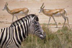 Zebrastreifen in Etosha