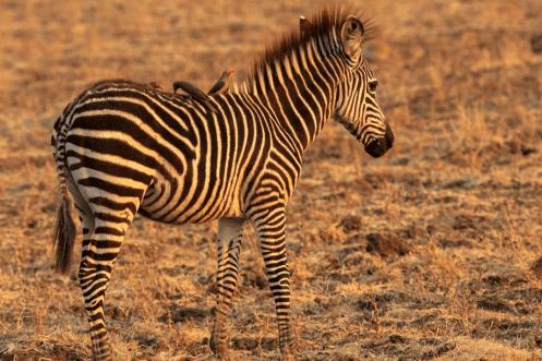 Zebra baby.