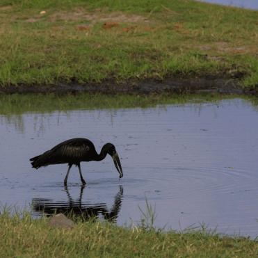 Open-billed stork.