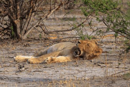 Gähnende Löwin im Chobe Nationalpark