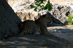 Jaguar liegend